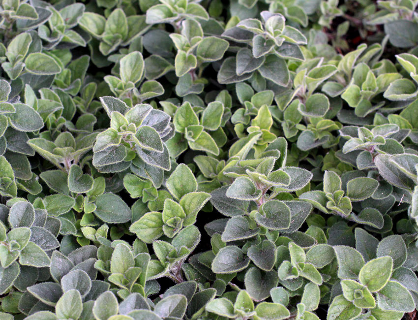 Buying oregano plants online